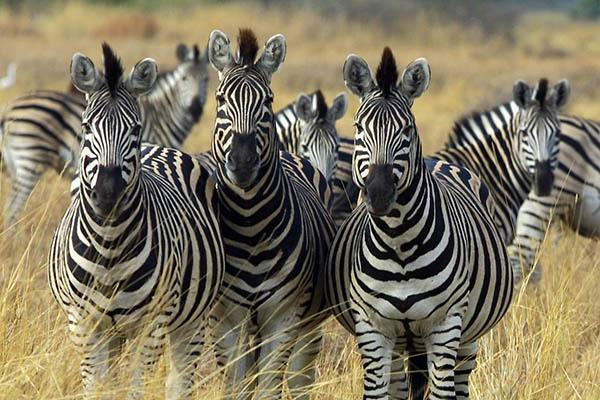 zebra_botswana_edit