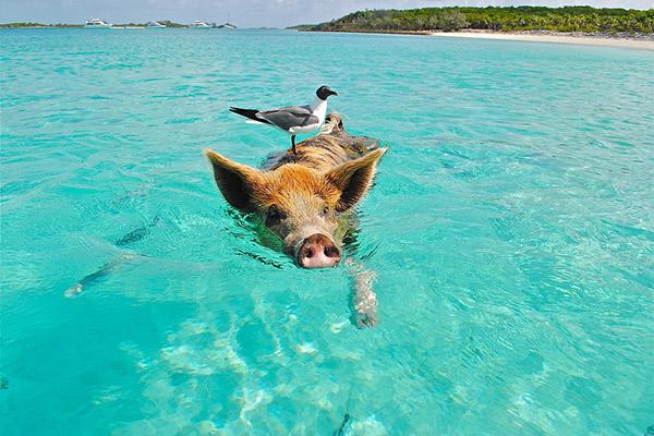 swiming-pig